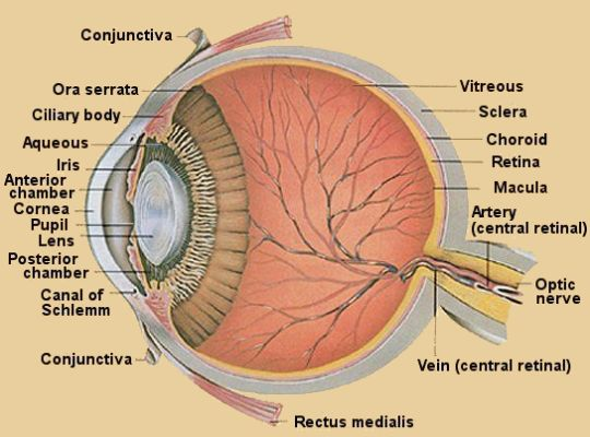 Anatomy of the eye - Causes,Symptoms,Diagnosis,Treatment,Analysis ...